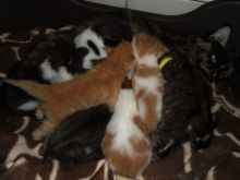 Maine Coon Kittens For FREE (306) 500-3579
