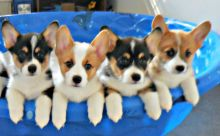 male and female pembroke welsh corgi puppies for adoption