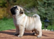 Pug puppies for sale and ready for new loving home (306) 500-3579