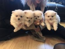 Special Offer of Pomeranian Puppies for 50% discount.. Text 437.536.6127