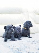 Very healthy and Active Blue French Bulldogs puppies .Very cheap. Hurry now