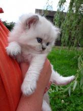 We have stunning British longhair kittens for FREE.(306) 500-3579