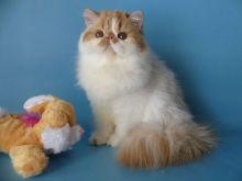White Persian kittens for FREE (306) 500-3579