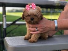 ***CAVAPOO PUPPIES-READY FOR NEW HOMES***