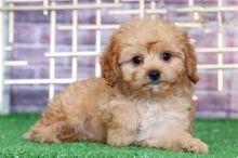 13 weeks old Cavapoo Pups *Trained*