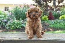 Beautiful Cavapoo puppies for adoption~non shedding