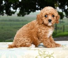 Cavapoo Puppies ready to go home! Health Guarantee Incl.