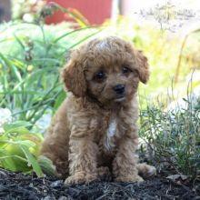 Cavapoo pups!!! Meet them Now !