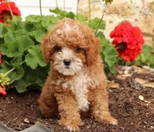 Adorable Cavapoo Puppies-Male/Female left!!