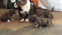 Gorgeous Pit Bull Terrier puppies for re homing. Hurry now