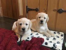 Labrador Retriever puppies are non-shedding for adoption