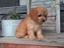 Only 2 available! Cavapoo pups! **Vaccinated**