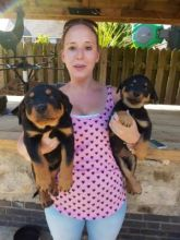 registered Rottweiller puppies up for a good home.