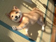 available Male and female Shiba Inu puppies for sale.