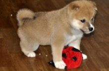 Classic Shiba Inu Puppies For Good Homes