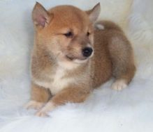 Extra-Gorgeous Shiba Inu Puppies Available