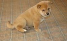 Lovely and cute SHIBA INU puppies for good homes