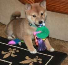 Plausible Shiba Inu Puppies READY FOR ADOPTION