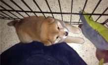 Shiba Inu puppies for adoption.