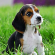 ✿✿ Beagle Puppies For Adoption✿✿ You can contact us at ruthplug34@gmail.com