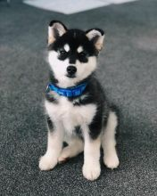 ☂️Remarkable Ckc ☂️ Pomsky Puppies ☂️