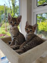 Healthy Savannah and Bengal Kittens Available for New Home txt (530) 238-5701