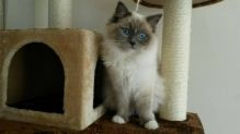 Home Raised Ragdoll Kittens Available for Adoption text +1(530) 238-5701