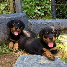 Rottweiler Puppies (11 weeks OLD )