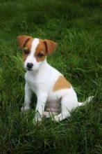 Jack Russell Terrier puppies. Call or text @(431) 803-0444