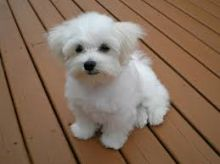 Maltese Puppies for adoption. Call or text @(431) 803-0444