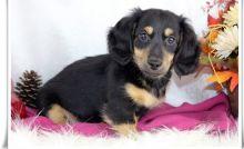 Purebred miniature dachshund for new homes (306) 500-3579