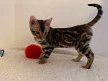 Super Pedigree Registered Bengal Kittens available