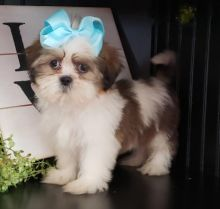 ***SHIH TZU PUPPIES-READY FOR NEW HOMES***
