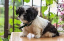 13 weeks old Shih Tzu Pups *Trained*