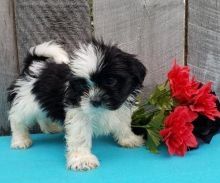 CKC Reg'd Shih Tzu Puppies- 2 LEFT