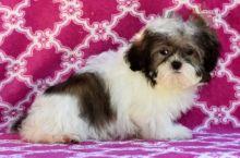Healthy adorable *Shih Tzu* puppies!