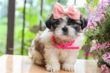 Lovely Shih Tzu pups -READY TO pick up