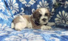 Only 2 available! Shih Tzu pups! **Vaccinated**