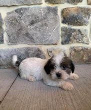 Shih Tzu Puppies ready to go home! Health Guarantee Incl.