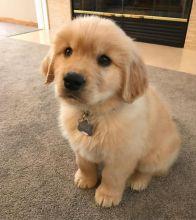 Golden Retriever puppies for adoption.(306) 500-3579