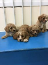 Cavapoo puppies seeking new homes. Hurry now and contact Image eClassifieds4U
