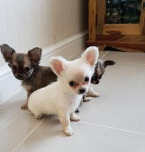 Chihuahua puppies seeking new homes. Hurry now and Text me at (437) 536-6127 for more info Image eClassifieds4U