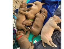 Amazing Bull-terrier puppies. Akc registration with full breeding rights.