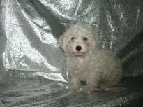 Cute and Affectionate lovable Male and female Bichon frise Puppies available and ready for new homes