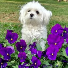 Gorgeous Maltese puppies, male and female, AKC Registered