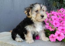 ***MORKIE PUPPIES-READY FOR NEW HOMES***
