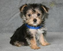 13 weeks old Morkie Pups *Trained*