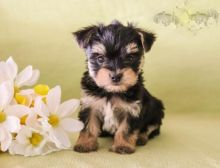 Healthy adorable *Morkie* puppies!