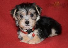 Lovely Morkie pups -READY TO pick up