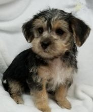 Morkie Puppies ready to go home! Health Guarantee Incl.